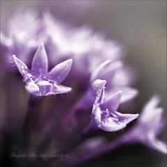 Purple haze - the colours of my life. (Ingrid Douglas Photography) Tags: macro bokeh purplehaze bokehlicious coloursofmylife canon100mmf28macrolens perfectoarts canon5dmarkii ingridinoz