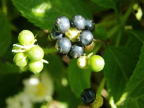 lantana, frutos