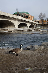 Goose by the Bow (fly_fast) Tags: bridge calgary canadagoose bowriver