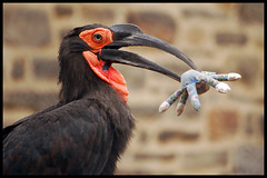 "Southern Ground Hornbill With His ""Stuffed Human"" (digitalART2) Tags: southerngroundhornbill hornbill bird toy stuffed philadelphiazoo nikon d50 vosplusbellesphotos"