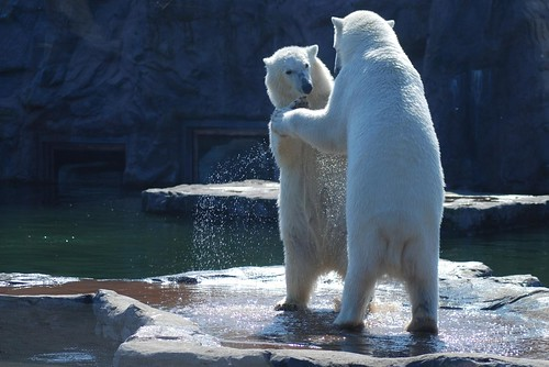 Eisbären Lara und Bill in der Zoom Erlebniswelt Gelsenkirchen