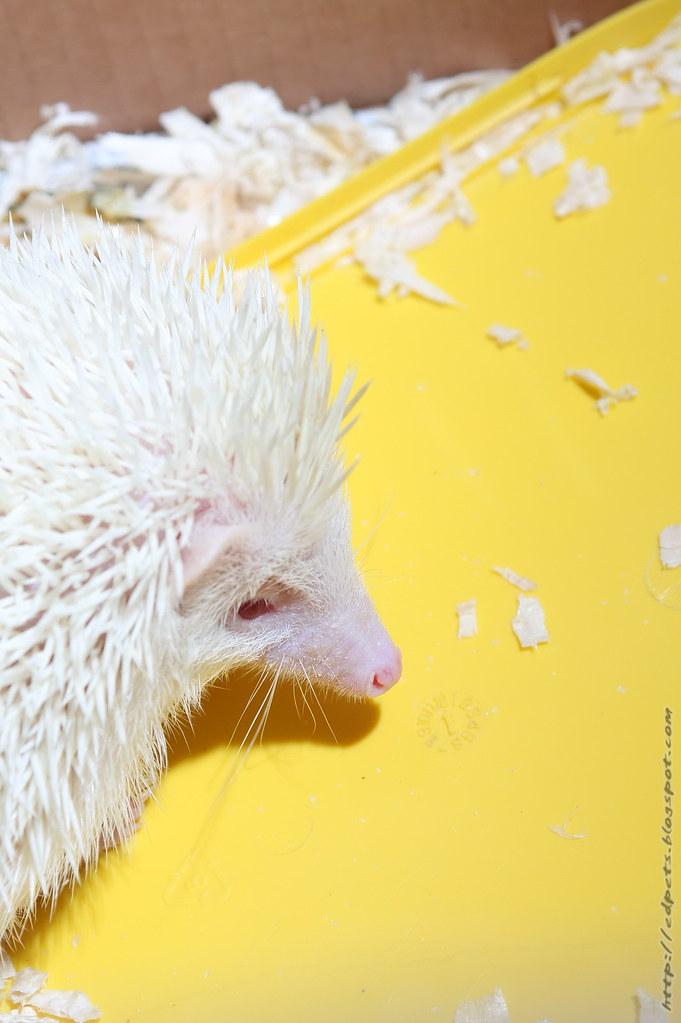 043_2009-04-26_Hedgehog Albino