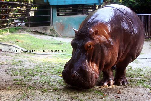 Shermanoz - Hippo