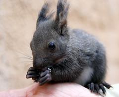 Korean squirrel (floridapfe) Tags: nature animal zoo korea everland naturesfinest  koreansquirrel nikon80 2voc