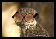 Glasses (JKmedia) Tags: red glasses meerkat funny joke specs editing notserious becham 2bad jkmedia pregamewinner