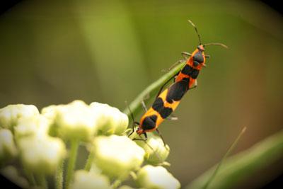 Milkweed bugs on antelope horn