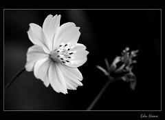 Florzinha pb (eduhhz) Tags: flor pb florzinha