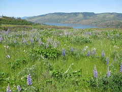 Lupines and the gorge (LaughingStarfish/dstroy) Tags: nature oregon hike gorge wildflowers hoodriver columbiarivergorge balsamroot tommccallpreserve