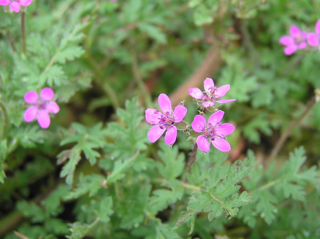 Pink Flower (Stork's-bill)