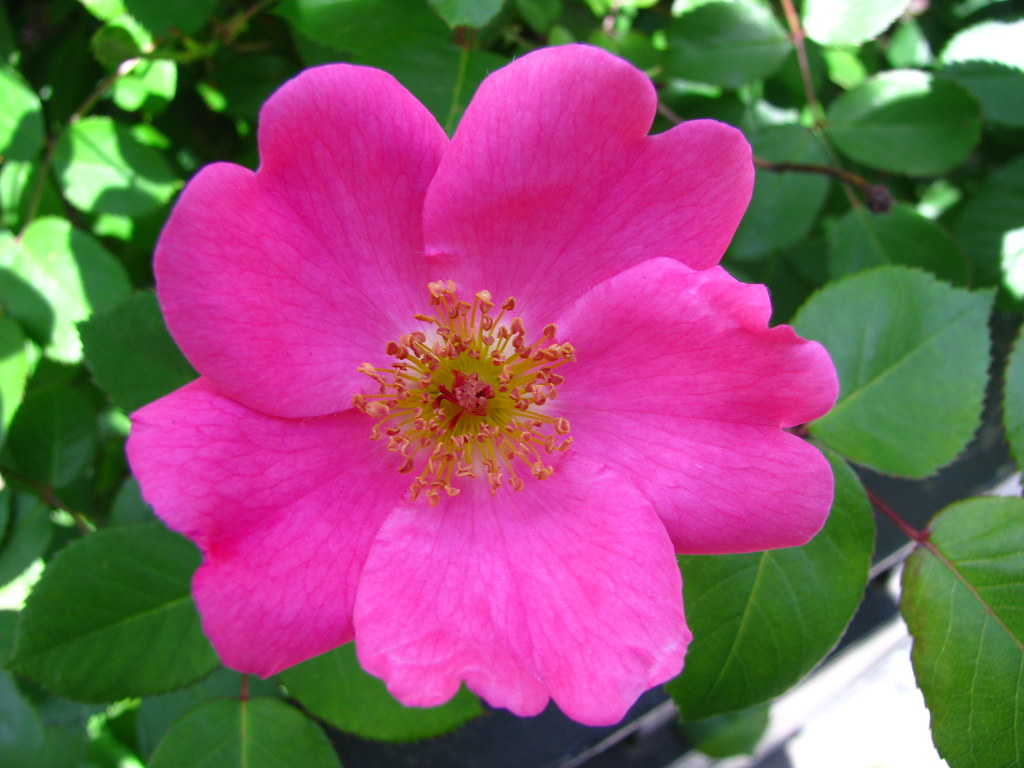 Wild Rose of Manhattan – Living the Scientific Life Scientist Interrupted