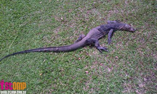 Monitor lizard gets run over by vehicle in Pasir Ris