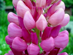 Shades of Pink - Nature's Gift of Love! (Clara Hinton) Tags: macro love nature bokeh blossoms gift lupine mayflower blueribbonwinner simplythebest shadesofpink masterphotos clarahinton artofimages