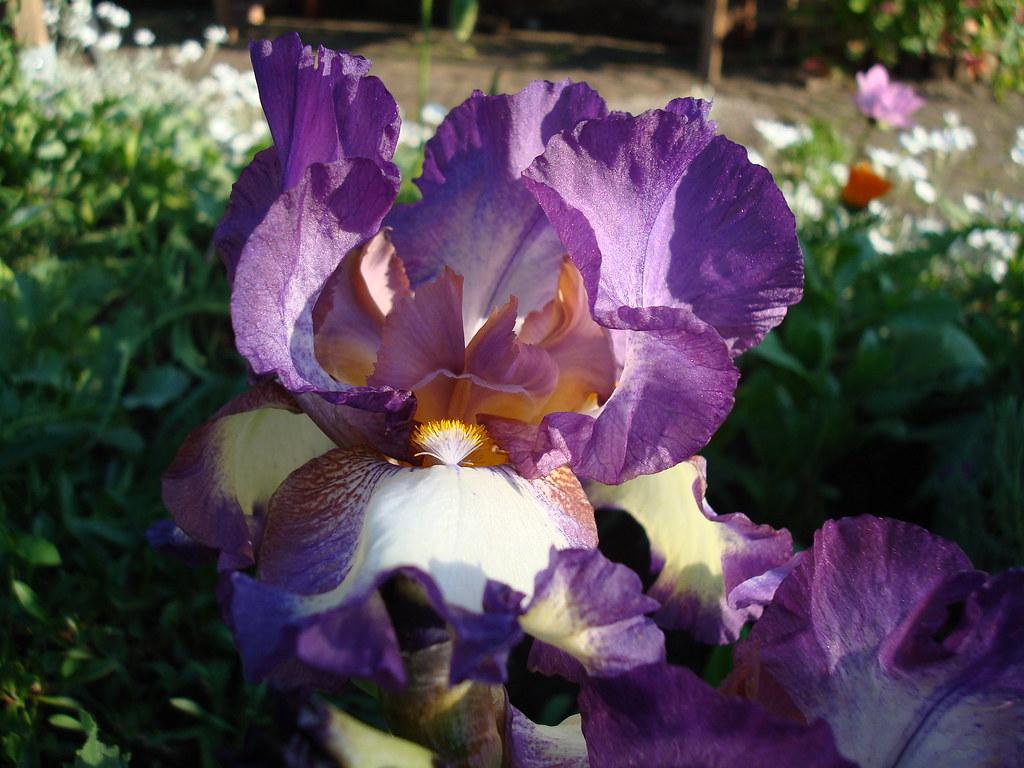 DSC03320 Iris