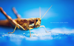 Orthoptera Caelifera (isayx3) Tags: blue light macro water pool 35mm bug insect nikon dof natural bokeh grasshopper nikkor f18 orthoptera caelifera d40