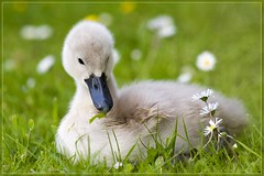 Daisy (woolyboy) Tags: uk grass by daisies born pond hiya steve cygnet fluffy first moi only eastsussex noooooooo lolp woolyboy thismancanttellhisswansfromhiscows canyougetswanmilk westhampevensey blimeythatwasfast onesugarinmineplease