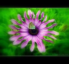 My Heart for You ( Gönlüm Sende ) (by_COSKUNTUNA ... 3.999.000 THANK YOU) Tags: flower macro canon natura ege çiçek a560 topshots addictedtoflickr fbdg gününeniyisi natureselegantshots flickrlovers grouptripod vosplusbellesphotos saariysqualitypictures coskuntuna thebestofcengizsqueezeme2groups theoriginalgoldseal
