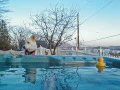 Hot Tub (ex_magician) Tags: pictures dog oregon photo underwater cross image photos shepherd sophie picture olympus images rubber siberianhusky ducky hottub stylus tough spa chemicals duckie 6000 waterproof underwatercamera moik klamathfalls sibirsky tough6000 crushproofcamera