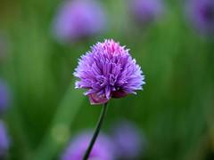 Chive DOF (saxonfenken) Tags: pregamewinner chive single singleflower flower mauve round dof bokeh greenandmauve purple thechallengefactory gamewinner challengeyou yourock1st herowinner challengeyouwinner friendlychallenges challengewinner perpetual 9025flower 9025