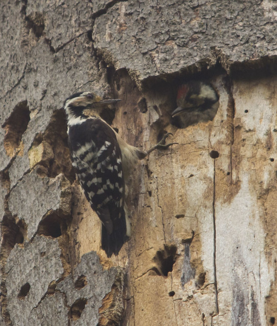 lesser spotted woodpecker chick being fed by female best 3