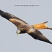 Argaty Red Kite6