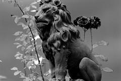 """ Il Leone di Fiesole "" (mauropaolocascasi) Tags: flowers bw stilllife rose landscapes fineart lion firenze fiori toscana leone paesaggi antico architettura bianconero fiesole storia abigfave"