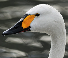 Bewick Swan (earlyalan90 away awhile) Tags: platinumphoto anawesomeshot goldstaraward natureselegantshots flickrlovers 100commentgroup