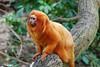 the little lion (sure2talk) Tags: zoo marwellzoo goldenliontamarin anawesomeshot pfosilver