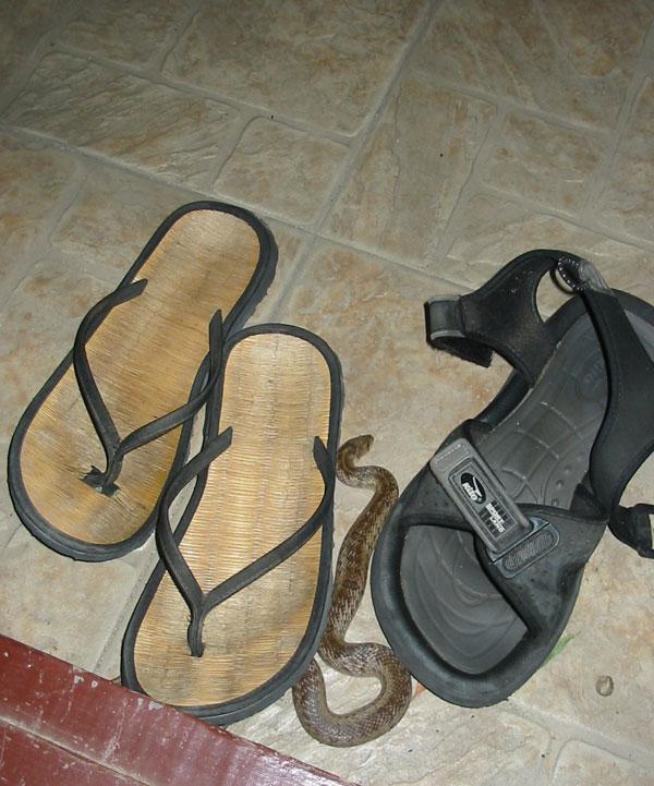 Змея притаилась в нашей обуви