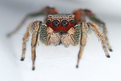 Male Habronattus pyrrithrix (Mundo Poco) Tags: macro canon spider arachnid jumpingspider salticidae mpe65mm eos450d habronattus rebelxsi habronattuspyrrithrix