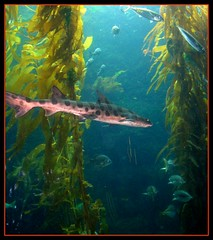 Leapord shark in Kelp forest, California (moonjazz) Tags: ocean california sea plants fish water animal forest swim shark community pacific sandiego diversity spots kelp environment biology fins saltwater oceanography leapord