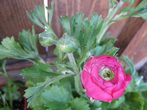 陸蓮花Ranunculus Linnaeus