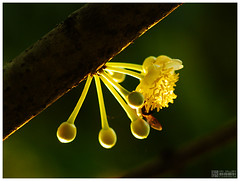 Mammea siamensis - สารภี (b. inxee♪♫) Tags: thailand asahi takumar bee m42 chiangmai smc 135mm siamensis สารภี mammea supertakumar1135f35