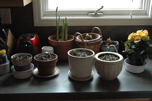 Happiness is... bulbs growing!
