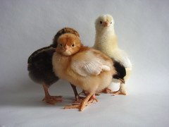 (apstyle21) Tags: chickens chicks babybirds babychicks babyanimals babychickens
