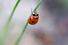 Ladybug (Cobrakarin) Tags: lensbaby spring sweden ladybird ladybug lensbabymacrokit