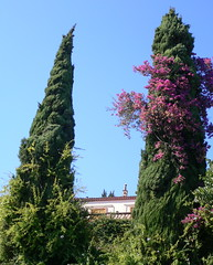 Taormina - Cupressus and Bouganvillea (Luigi Strano) Tags: italien trees italy alberi travels holidays europa europe italia trips sicily taormina italie sicilia messina vacanze sicile sizilien bouganville cipressi  cupressussempervirens 5photosaday