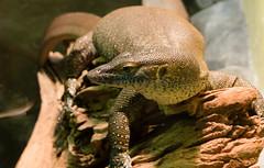 Merten's Water Monitor (btrain16) Tags: zoo washingtondc dc washington olympus nationalzoo e300 lizards 2009 reptiles rdc reptilehouse 1850mm reptilediscoverycenter mertenswatermonitor