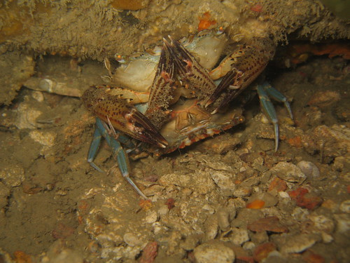 Swimmer crabs mating