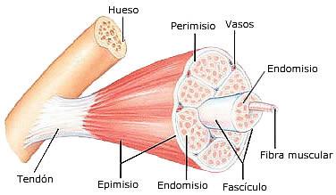 morfología del músculo