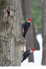 Two Pileated Woodpecker - Deux Grands Pics (RichardDumoulin) Tags: two canon woodpecker pics richard deux parc grands pileated doka dumoulin 500f4 1dmk3 overtheexcellence vosplusbellesphotos