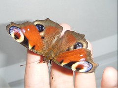 Peacock Butterfly from John's Garden