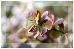 96/366-1. Shrub with no name. (roseyhadlow) Tags: naturesfinest abigfave goldstaraward cherryontopphotography project36612009