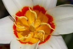 "Tulip Spring ""Zwergli Diana"" (andreasgraemiger) Tags: flower macro art love nature beauty closeup canon fun funny sas blume makro soe nahaufnahme bestofflickr mainau cubism 100mmmacro naturesfinest blueribbonwinner supershot flickrsbest passionphotography goldenmix golddragon flickrcolour abigfave shieldofexcellence platinumphoto anawesomeshot impressedbeauty superaplus aplusphoto ultimateshot irresistiblebeauty amazingshots superbmasterpiece wowiekazowie diamondclassphotographer flickrdiamond diamondclass diamondaward citrit ysplix magicofaworldinmacro theunforgettablepictures naturewatcher overtheexcellence macromix colourartaward fiveflickrfavs coolestphotographers wonderfulworldmix excapture extraordinarycapture macromarvels betterthangood dazzlingshots goldstaraward dragongoldaward wonderfulworldofflowers"