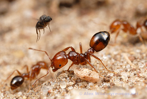 Ant-Decapitating Fly and Fire Ants
