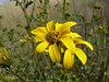 San Diego Sunflower, another prote…