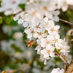 On a springtime walk (til213) Tags: flower spring bee blume biene frhling spaziergang naturesfinest flowerotica fantasticflower obstblte abigfave top20bugsandblossoms