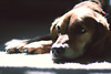 Penny (ginnerobot) Tags: family light shadow dog pet cute home carpet 50mm afternoon penny resting relaxation sundayafternoon