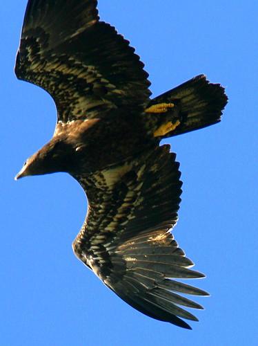 Eaglet Overhead 2-20090418