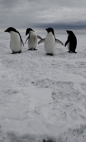 antarctic2 penguins