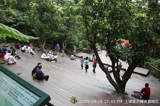 09.04.19 一探土城承天寺桐花花況 (2)
